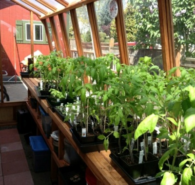Interior of 8x11 Solite greenhouse with tomatoes