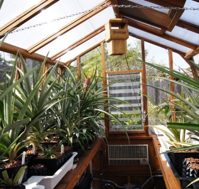 Interior of Solite 8x 11 freestanding greenhouse used for growing pineapples in California